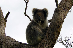 Koala spotting is one of our visitor's favorite occupation